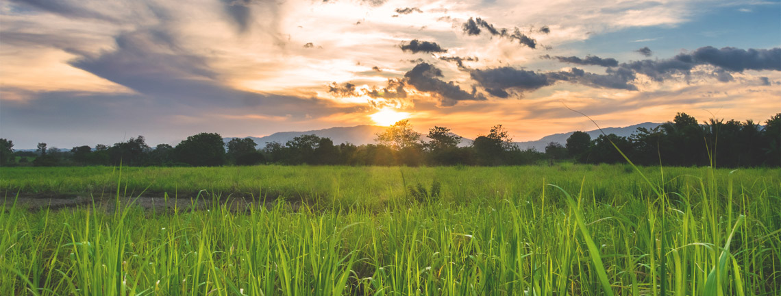 マスコバド糖、サトウキビ畑